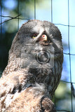 some grey owl strix nebulosa as nice majestic bird