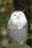 Photo big white owl bubo scandiacus is resting in the cage