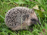 sweet and small hedgehog in the grass