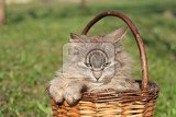 furry cat in the basket on the grass background
