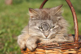 furry cat is resting in the basket