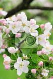 spring apple flowers on the green background
