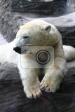 polar bear is resting on the dark background