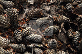 old pine cones background as nice christmas texture