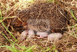 hedegehog mother and her newborns as nice family