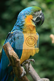 blue and yellow parrot in the nature