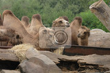 Photo brown camels are resting in the green park
