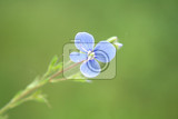 nice blue flower on the green background