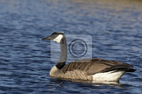 Canada goose ( Branta canadensis) swimming in lake michigan
