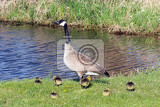 Canada goose with thier goslings on the river bank. Nature scene from Wisconsin.