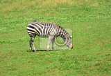 zebra in the grass in the prague zoo