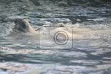 ice bear swimming in the polar water