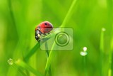 beautiful color image of ladybugs in grass insect close up in nature