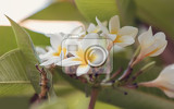 Fotografie white plumeria flower with shallow focus in nature garden ethiopia