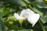 Fotografie zantedeschia aethiopica flower known as calla lily and arum lily ethiopia africa nature wilderness