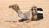 Photo camel in the sahara in the tunisia