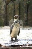 very nice penguin in the prague zoo