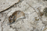 a little dead mouse on grey background