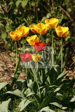 nice red and yellow tulips in the green grass
