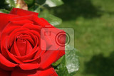 very nice red and green rose background