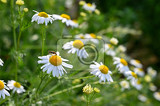 beautiful flowering flowers  marguerites summer natural colorful backgroundleucanthemum mill