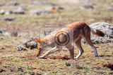 rare and endemic ethiopian wolf canis simensis hunts in nature habitat sanetti plateau in bale mountains africa ethiopian wildlife only about 440 wolfs survived in ethiopia