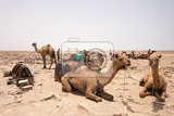 Photo camel caravan waiting for afar man cutting and mining salt bricks slabs in primitive tools at salt desert in the danakil depression