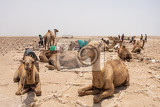 camel caravan waiting for afar man cutting and mining salt bricks slabs in primitive tools at salt desert in the danakil depression