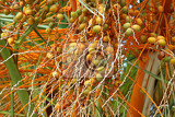 closeup of palm tree with bright orange fruits