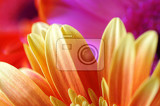 bright natural background with petals of gerber flowers