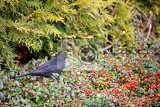 male of common blackbird turdus merula on berry of cotoneaster plant in winter garden without snow