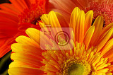 beautiful gerber flowers bright natural background