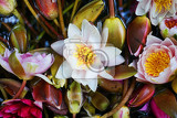 water lilly with flowers as nice natural background