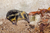 endemic animal streaked tenrec hemicentetes semispinosus in defensive posture in the rainforest of masoala madagascar wildlife