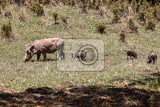 warthog family with piglets in natural habitat bale mountain phacochoerus aethiopicus ethiopia africa safari wildlife