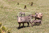 warthog family with baby piglets in natural habitat bale mountain phacochoerus aethiopicus ethiopia africa safari wildlife