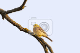 yellowhammer emberiza citrinella is a passerine bird in the bunting family that is native to eurasia czech republic europe wildlife