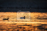 Fotografie silhouette of wild bird duck mallard anas platyrhynchos family in golden sunset color on spring pond czech republic europe wildlife