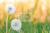 Fotografie dandelion flower with shallow focus abstract spring color tone for natural background springtime symbol