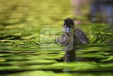 Fotografie duckling mandarin duckling cub beautiful young water bird in the wild colorful background