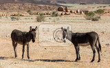 Photo donkey grazing in the vast and desolate desert landscape in brandberg mountain namibia