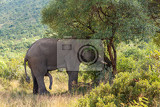 horny majestic wild african elephant ready for mating in pilanesberg game reserve south africa wildlife safari