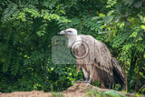 himalayan vulture or himalayan griffon vulture gyps himalayensis head and neck