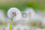 beautiful dandelion flower with shallow focus in springtime natural spring background blooming meadow