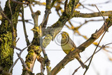 yellowhammer in spring emberiza citrinella is a passerine bird in the bunting family that is native to eurasia springtime in czech republic europe wildlife