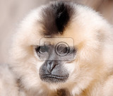 primate yellowcheeked gibbon nomascus gabriellae close up portrait