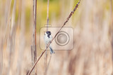 common reed bunting male on the reed emberiza schoeniclus near pond in spring czech republic europe wildlife