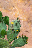 blooming euphorbia cactus with yellow flowers close up ethiopia