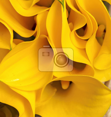 yellow Zantedeschia