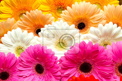 beautiful gerbera